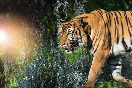 A tiger walks foraging in the jungle, against the backdrop of Spray Falls.