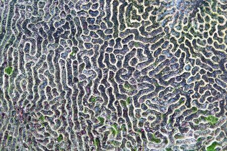 texture of Brain coral  ( Leptoria phrygia ) photo