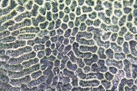 texture of Brain coral  ( Leptoria phrygia ) Stock Photo - 9329980
