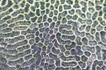 pristine corals: texture of Brain coral  ( Leptoria phrygia )