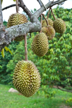spiky: Durian, king of tropical fruit hanging on brunch tree Stock Photo
