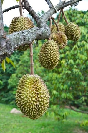 Durian: Sầu riêng, vua của trái cây nhiệt đới treo trên cây bưa ăn