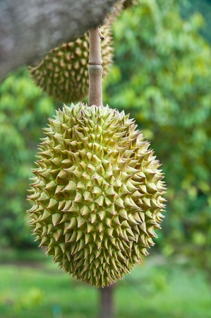 Durian, king of tropical fruit hanging on brunch tree photo