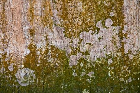 liquen: moss textura natural el antiguo muro de hormig�n Foto de archivo