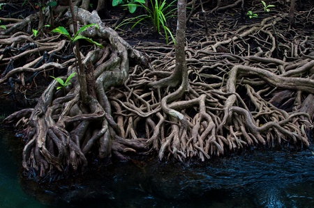 mangrove forest: Mangrove roots and clear water canal Stock Photo