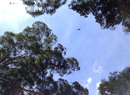 Big bird flying high against a blue sky seen from among trees Stock Photo