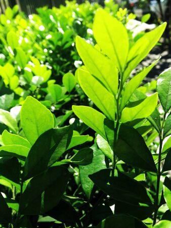 Backlit green leaves background Stock Photo