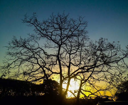 Leafless tree silhouetted at sunset