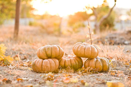 group of sunny beautiful pumpkins Stock Photo