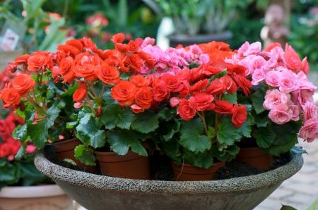 begonia flower in flowerpot