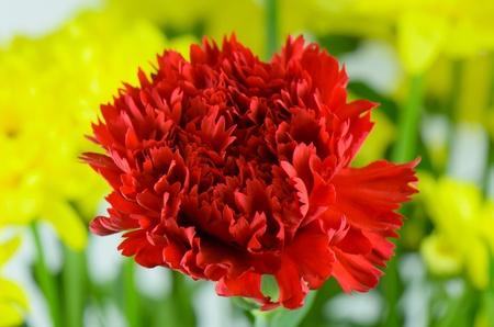 Beautiful carnation with yellow Stock Photo - 21383545