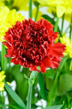 Beautiful carnation with yellow Stock Photo - 21383546