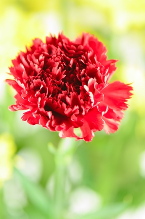 carnation with background Stock Photo - 21383547