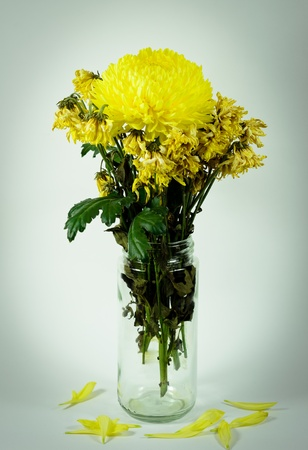 wither: Yellow Chrysanthemum flower fresh and wither in the pot Stock Photo