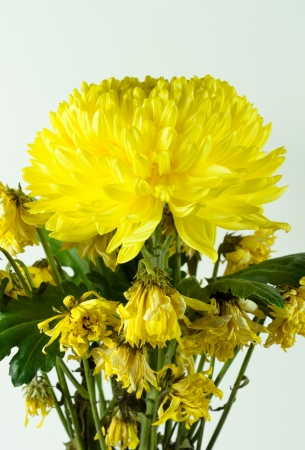 wither: Yellow Chrysanthemum flower fresh and wither