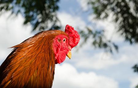 fighting cock: beautiful head fighting cock