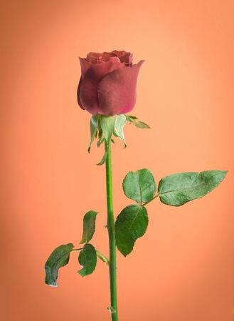 rose on orange backgroud Stock Photo