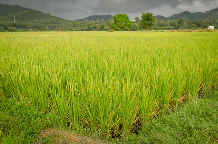 A golden rice field in Thailand Stock Photo