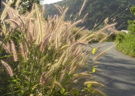 The golden grass field is in countryside at Phuket pvovince