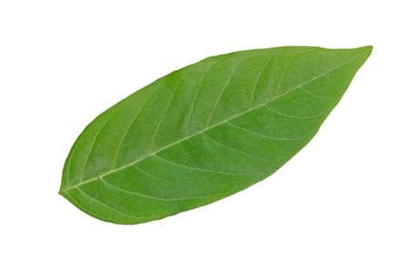 A green leaf is on white background.