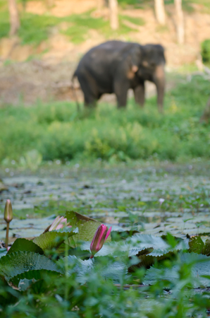 lotus flower with asian elephant background in forest