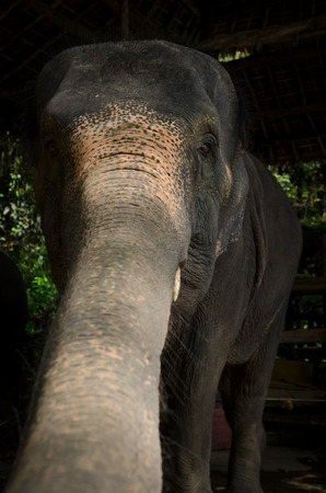 the asian elephant is showing trunk and face Stock Photo