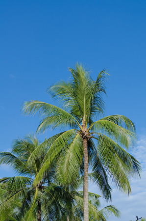 palm tree or coconut tree with blue sky in summer at Phuket, Thailand