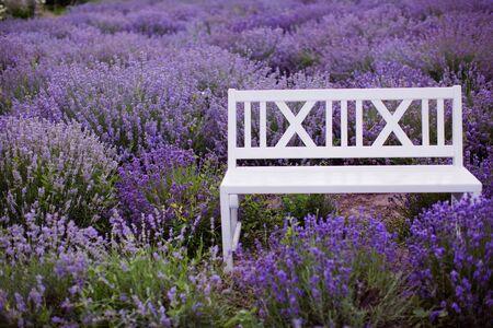 White wooden bench at lavender field. Purple blossom lavender Reklamní fotografie