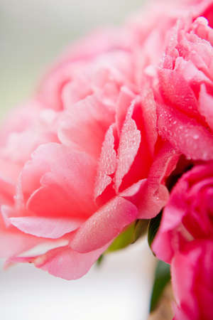 Close up of coral peonies with dew drops, Bouquet of coral peonies in wicker basket. Vibrant colorful bouquet peonies