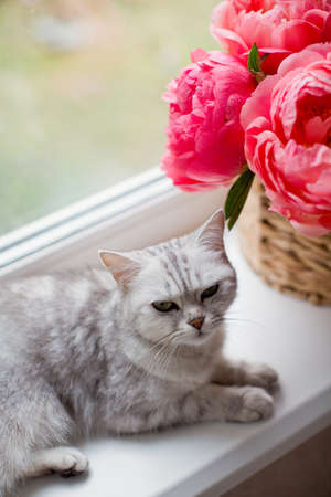 Gray cat lying on a windowsill near bouquet of coral peonies in wicker basket