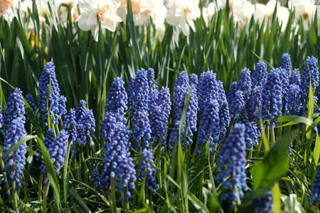 Close-Up of purple Muscari with white Daffodils on the background