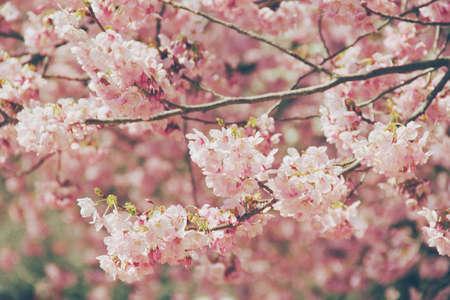 Cherry blossoms in Osaka City Park
