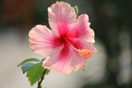 Hibiscus flower. photo