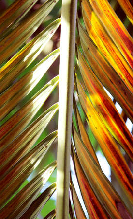coconut leaves photo