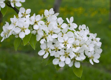 Branch of  blossoming pear in garden photo