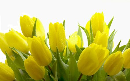 Armful of yellow tulips isolated on a white background photo