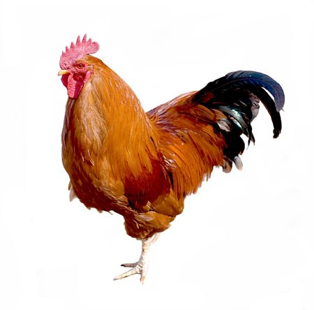 Red cock is isolated on a white background