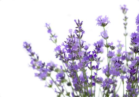 Branch of lavender isolated on white background Stock Photo