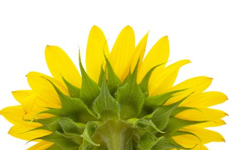 sunflower underside is isolated on a white background Stock Photo - 5502537