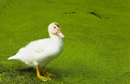 White duck in the green pond which has grown with seaweed Stock Photo - 7581731