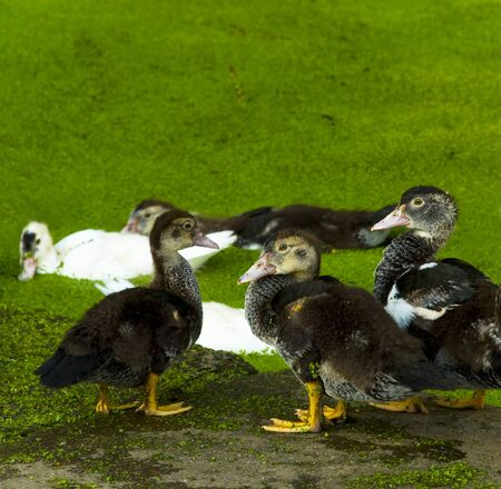 White grey duck in the green pond which has grown with seaweed Stock Photo - 7581723