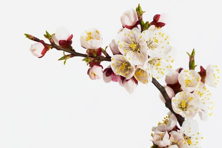 orchard: branch of  tree blossoming by pink colours is isolated on white background