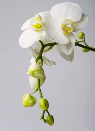isolated in white background: Orchid