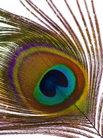 Detail of peacock feather eye photo
