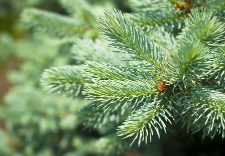 Blue Spruce Tree Branches photo
