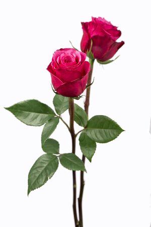 rose tree: Pink roses