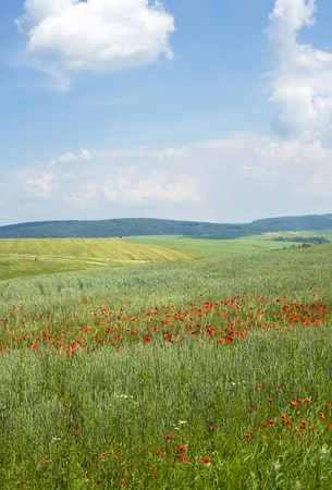 Poppies on blue sky background photo