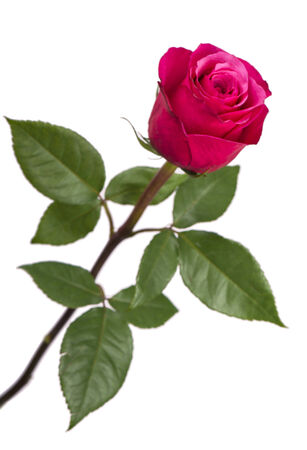 Pink rose isolated on the white