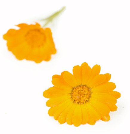 Calendula. flowers isolated on white photo