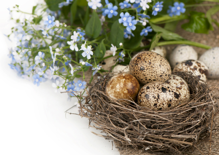 Quail eggs in a nest, forget-me-nots on a canvas photo